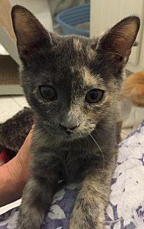 Domestic Shorthair Cat for adoption in Atlanta, Georgia - Natasha