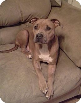 Pit Bull Terrier Mix Dog for adoption in waterbury, Connecticut - Petunia