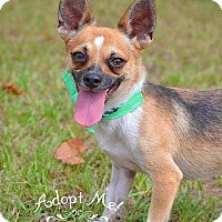 Chihuahua Dog for adoption in Fort Valley, Georgia - Rebel