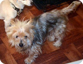 Yorkie, Yorkshire Terrier Mix Dog for adoption in Melrose, Florida - Winston