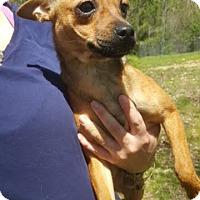 Adopt A Pet :: Mitzi - Chihuahua - Laingsburg, MI