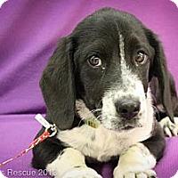 Adopt A Pet :: Damaris - Broomfield, CO
