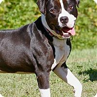 Adopt A Pet :: Domino - Sunderland, MA