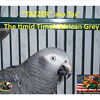 Adopt A Pet :: Taz' the Timid African Grey - Vancouver, WA