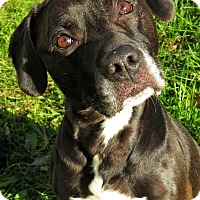 Pit Bull Terrier Mix Dog for adoption in West Babylon, New York - Riley