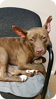 American Staffordshire Terrier Mix Dog for adoption in Gainesville, Georgia - Mae