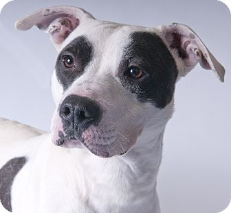 American Pit Bull Terrier Dog for adoption in Chicago, Illinois - Petey