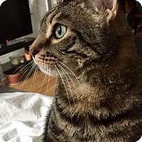 Domestic Shorthair Cat for adoption in New York, New York - Gemma