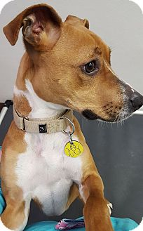 Basenji/Terrier (Unknown Type, Medium) Mix Dog for adoption in North Olmsted, Ohio - Sadie-Foster Needed