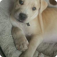 Adopt A Pet :: Lump pending adoption - Manchester, CT