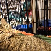 Adopt A Pet :: Grey Goose - Anderson, IN
