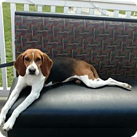 Beagle Mix Dog for adoption in Hollywood, Maryland - Peppermint Patty