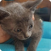 Russian Blue Kitten for adoption in Fort Lauderdale, Florida - Bijou