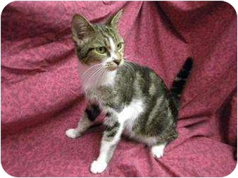 Domestic Shorthair Cat for adoption in Gainesville, Florida - Tawny