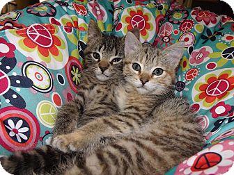 Domestic Mediumhair Kitten for adoption in Owosso, Michigan - Kovu and Kiara