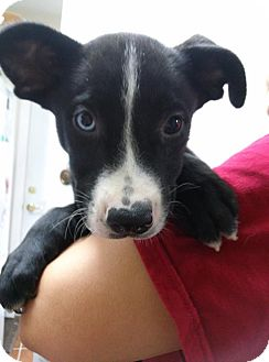 Australian Shepherd/Labrador Retriever Mix Puppy for adoption in South Jersey, New Jersey - Mew