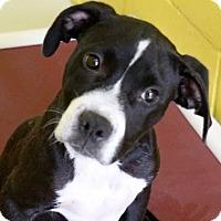 Adopt A Pet :: Barney - Groton, MA