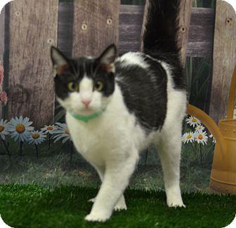 Domestic Shorthair Cat for adoption in Lebanon, Missouri - Daisy