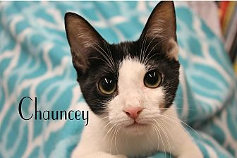 Domestic Shorthair Kitten for adoption in Wichita Falls, Texas - Chauncey