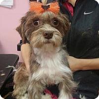 Adopt A Pet :: Beebee - Manassas, VA