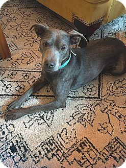 Weimaraner/Labrador Retriever Mix Dog for adoption in San Antonio, Texas - Casey