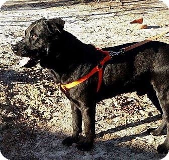 Labrador Retriever Mix Dog for adoption in Huntsville, Alabama - Johnny Cash