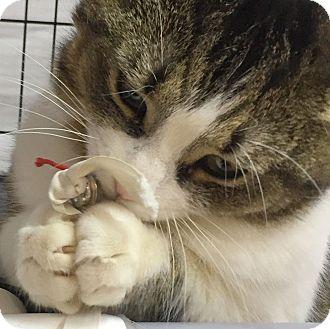 Domestic Shorthair Cat for adoption in Toronto, Ontario - Laverne