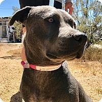 Adopt A Pet :: Maya - Phoenix, AZ