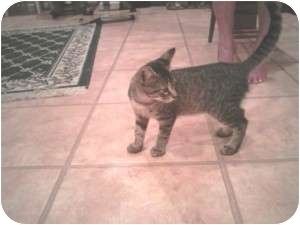Bengal Cat for adoption in Medford, New Jersey - Tory