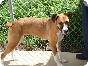 Boxer Mix Dog for adoption in hollywood, Florida - farrah