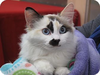 Siamese Kitten for adoption in Port Republic, Maryland - Bonnie Blue