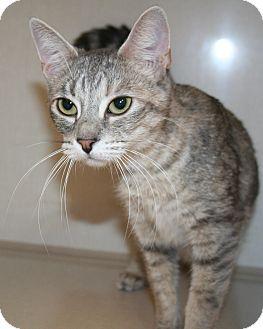 Domestic Shorthair Cat for adoption in Edmonton, Alberta - Sylva