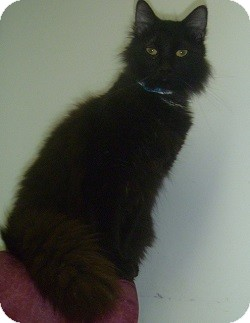 Domestic Longhair Cat for adoption in Hamburg, New York - Jasper