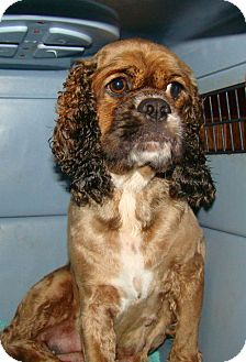 Cocker Spaniel Dog for adoption in Sugarland, Texas - Coco
