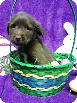 Cocker Spaniel Mix Puppy for adoption in River Falls, Wisconsin - Fry