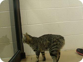 Domestic Shorthair Cat for adoption in Gadsden, Alabama - Ms.Kay