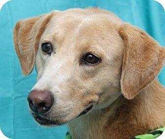 Labrador Retriever Mix Dog for adoption in New Roads, Louisiana - Zoie