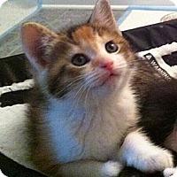 Adopt A Pet :: CiCi - Reston, VA