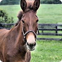 Adopt A Pet :: Thistle - Nicholasville, KY