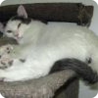 Domestic Shorthair Cat for adoption in Powell, Ohio - Artie