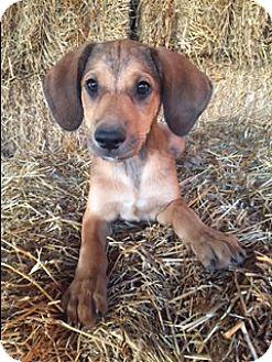 Labrador Retriever Mix Puppy for adoption in Bedminster, New Jersey - Bennett