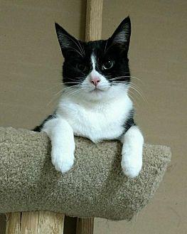Domestic Shorthair Cat for adoption in Saginaw, Michigan - Adams