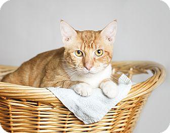 Domestic Shorthair Cat for adoption in El Dorado Hills, California - LB
