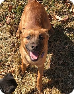 Shepherd (Unknown Type) Mix Puppy for adoption in Littleton, Colorado - Jinks