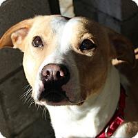Adopt A Pet :: Dana - Pompton Lakes, NJ