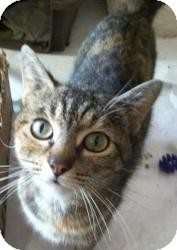 Domestic Shorthair Cat for adoption in Raritan, New Jersey - Elizabeth