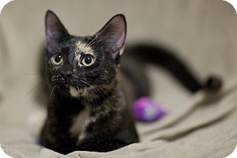 Domestic Shorthair Cat for adoption in Chicago, Illinois - Gwen