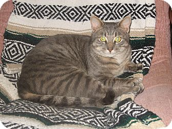 Domestic Shorthair Cat for adoption in Huntsville, Ontario - Theo - Affectionate!