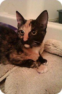Domestic Shorthair Kitten for adoption in Chandler, Arizona - Min min and Sis