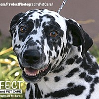 Dalmatian Dog for adoption in Gardena, California - Ruff